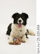 Купить «Border Collie lying with its rag toy.», фото № 25320654, снято 16 июля 2018 г. (c) Nature Picture Library / Фотобанк Лори