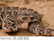 Puff Adder (Bitis arietans) juvenile male snake close up,  deHoop NR, Western Cape, South Africa. Стоковое фото, фотограф Tony Phelps / Nature Picture Library / Фотобанк Лори