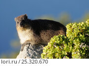Rock Dassie \ Hyrax (Procavia capensis) portrait, deHoop NR, Western Cape, South Africa. Стоковое фото, фотограф Tony Phelps / Nature Picture Library / Фотобанк Лори
