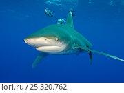Купить «Oceanic whitetip shark (Carcharhinus longimanus) with Pilot fish (Naucrates ductor) in the open Atlantic Ocean, close to the Bahamas. Near Cat Island, Bahamas.», фото № 25320762, снято 17 марта 2018 г. (c) Nature Picture Library / Фотобанк Лори