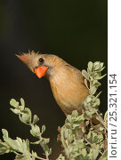 Купить «Northern Cardinal (Cardinalis cardinalis) female in the Rio Grande Valley, South Texas, USA, June», фото № 25321154, снято 21 августа 2018 г. (c) Nature Picture Library / Фотобанк Лори
