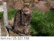 Купить «Kurilian Bobtail Cat (origins: Russia) sitting on arm of old, lichen-encrusted bench, Connecticut, USA», фото № 25321158, снято 20 августа 2018 г. (c) Nature Picture Library / Фотобанк Лори