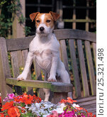 Купить «Jack russell terrier on garden banch with summer flowers», фото № 25321498, снято 25 марта 2019 г. (c) Nature Picture Library / Фотобанк Лори
