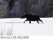 Купить «Moose (Alces alces) walking through deep winter snow, Brush Creek Ranch, Saratoga, Wyoming, USA, February 2010», фото № 25322054, снято 23 января 2018 г. (c) Nature Picture Library / Фотобанк Лори