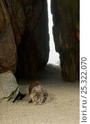 Male Marine otter (Lontra felina) in cave, Punta Corrientes, Peru (Camera Trap), Endangered species. Стоковое фото, фотограф Kevin Schafer / Nature Picture Library / Фотобанк Лори