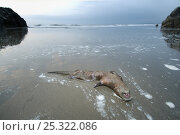 Dead Marine otter (Lontra felina) on beach, Punta Corrientes, Humboldt Current, Peru, Endangered species. Стоковое фото, фотограф Kevin Schafer / Nature Picture Library / Фотобанк Лори