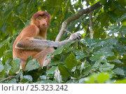 Proboscis Monkey (Nasalis larvatus) female sitting in tree, Bako National Park, Sarawak, Borneo, Malaysia. Стоковое фото, фотограф Edwin Giesbers / Nature Picture Library / Фотобанк Лори
