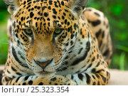 Jaguar (Panthera onca) close-up head portrait, lying down, captive. Стоковое фото, фотограф Edwin Giesbers / Nature Picture Library / Фотобанк Лори