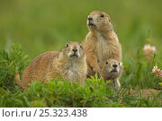 Three Blacktail Prairie Dogs (Cynomys ludovicianus) at the entrance... Стоковое фото, фотограф John Cancalosi / Nature Picture Library / Фотобанк Лори