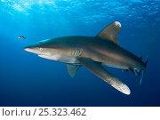Купить «A young Oceanic Whitetip Shark (Carcharhinus longimanus) with Pilot fish (Naucrates ductor) Elphinstone Reef, Egypt, Red Sea. June», фото № 25323462, снято 17 марта 2018 г. (c) Nature Picture Library / Фотобанк Лори