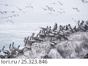 Купить «Peruvian pelicans (Pelecanus thagus) on coastal rocks, Pucusana, Lima Province, Peru», фото № 25323846, снято 30 марта 2020 г. (c) Nature Picture Library / Фотобанк Лори