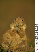 Blacktail Prairie Dog (Cynomys ludovicianus) sitting and feeding,... Стоковое фото, фотограф John Cancalosi / Nature Picture Library / Фотобанк Лори