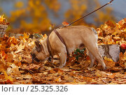Купить «French Bulldog on a harness / leash, French walking in autumn foliage», фото № 25325326, снято 26 марта 2019 г. (c) Nature Picture Library / Фотобанк Лори