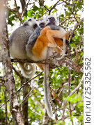 Купить «Diademed Sifakas (Propithecus diadema diadema) family group with baby in tropical rainforest. Andasibe-Mantadia National Park, Eastern Madagascar. IUCN Endangered Species.», фото № 25325562, снято 25 января 2020 г. (c) Nature Picture Library / Фотобанк Лори
