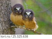 Купить «Two Northern Saw-whet Owls (Aegolius acadicus) fledgling chicks, that have recently left the safety of their nest cavity. Alberta, Canada. June.», фото № 25325638, снято 3 июля 2020 г. (c) Nature Picture Library / Фотобанк Лори