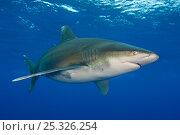 Купить «Oceanic whitetip shark (Carcharhinus longimanus) in the open Atlantic Ocean, close to the Bahamas. Near Cat Island, Bahamas.», фото № 25326254, снято 26 сентября 2018 г. (c) Nature Picture Library / Фотобанк Лори