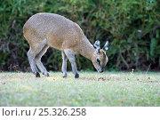 Klipspringer (Oreotragus oreotragus) female grazing, Mlilwane Wildlife Sanctuary, Swaziland. Стоковое фото, фотограф Mark Carwardine / Nature Picture Library / Фотобанк Лори