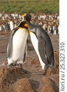 Купить «Pair of King Penguins (Aptenodytes patagonicus) displaying courtship behaviour, on coastline, South Georgia», фото № 25327310, снято 18 сентября 2019 г. (c) Nature Picture Library / Фотобанк Лори