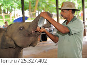 Купить «Asian Elephant (Elephas maximus) juveniles being hand fed by keeper, elephant orphanage of Pinnawela, Sri Lanka, Asia. June 2010», фото № 25327402, снято 16 июля 2018 г. (c) Nature Picture Library / Фотобанк Лори