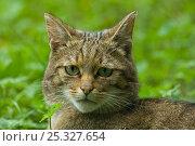 Wild cat (Felis silvestris) head portrait, captive. Стоковое фото, фотограф Edwin Giesbers / Nature Picture Library / Фотобанк Лори