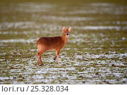 Купить «Chinese water deer (Hydropotes inermis) in snowy field. Norfolk, UK, February», фото № 25328034, снято 5 августа 2020 г. (c) Nature Picture Library / Фотобанк Лори