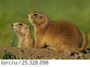 Two Blacktail Prairie Dogs (Cynomys ludovicianus) at entrance to underground... Стоковое фото, фотограф John Cancalosi / Nature Picture Library / Фотобанк Лори