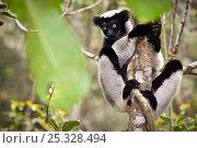 Купить «Indri (Indri indri) portrait, climbing tree, tropical rainforest, Andasibe-Mantadia National Park, Eastern Madagascar. IUCN Endangered Species.», фото № 25328494, снято 25 января 2020 г. (c) Nature Picture Library / Фотобанк Лори
