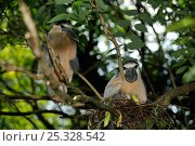 Купить «Boat-billed heron (Cochlearius cochlearius) breeding pair, on nest in tree branch, French Guiana, August», фото № 25328542, снято 18 июня 2019 г. (c) Nature Picture Library / Фотобанк Лори