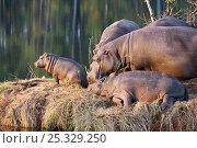 Hippopotamus (Hippopotamus amphibius) family group on river bank, Mlilwane Wildlife Sanctuary, Swaziland, Endangered / threatened species. Стоковое фото, фотограф Mark Carwardine / Nature Picture Library / Фотобанк Лори