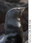 Купить «Guadalupe fur seal (Arctocephalus townsendi) head portrait of male, Guadalupe Island Biosphere Reserve, off the coast of Baja California, Mexico, April», фото № 25330154, снято 27 марта 2019 г. (c) Nature Picture Library / Фотобанк Лори