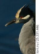 Yellow-crowned night heron (Nyctanassa violacea)  Sanibel Island,... Стоковое фото, фотограф Tim Laman / Nature Picture Library / Фотобанк Лори