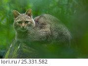 Wild cat (Felis silvestris) portrait sitting on log, captive. Стоковое фото, фотограф Edwin Giesbers / Nature Picture Library / Фотобанк Лори