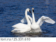Купить «Pair of Trumpeter Swans (Cygnus buccinator) in courtship display, wintering on Mississippi River, Minnesota, USA», фото № 25331610, снято 20 октября 2018 г. (c) Nature Picture Library / Фотобанк Лори