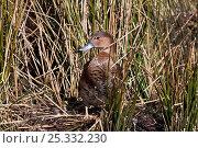 Купить «Rosy-billed Pochard (Netta peposaca) female in reeds, Central Chile. Captive.», фото № 25332230, снято 18 января 2020 г. (c) Nature Picture Library / Фотобанк Лори