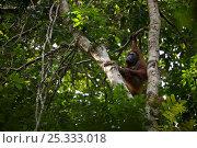 Adult female Bornean Orangutan (Pongo pygmaeus) named Beth, climbing tree trunk, Borneo, July 2007. Стоковое фото, фотограф Tim Laman / Nature Picture Library / Фотобанк Лори