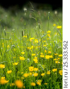 Купить «Buttercup flowers (Ranunculus acris) in meadow,  Spring, UK», фото № 25333562, снято 22 июля 2018 г. (c) Nature Picture Library / Фотобанк Лори