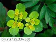 Купить «Opposite-leaved Golden saxifrage (Chrysosplenium oppositifolium), Luxembourg», фото № 25334550, снято 18 октября 2018 г. (c) Nature Picture Library / Фотобанк Лори