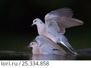 Купить «Pair of Turtle doves (Streptopelia turtur) mating, Pusztaszer, Kiskunsagi National Park, Hungary», фото № 25334858, снято 23 октября 2018 г. (c) Nature Picture Library / Фотобанк Лори