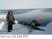 Купить «Inupiaq / Inuit woman stands next to a Bowhead whale (Balaena mysticetus) catch during spring whaling season, Chukchi Sea, off the coastal village of Barrow, Alaska. May 2009», фото № 25334970, снято 16 июля 2018 г. (c) Nature Picture Library / Фотобанк Лори