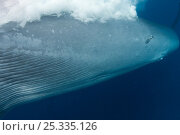 Купить «Close up of throat pleats, navel, genital and anal openings, and mammary slit of Bryde's whale (Balaenoptera brydei /edeni) as it passes photographer as...», фото № 25335126, снято 12 декабря 2017 г. (c) Nature Picture Library / Фотобанк Лори