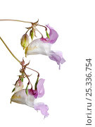Купить «Two flower stems of Himalayan / Touch-me-not balsam (Impatiens glandulifera)», фото № 25336754, снято 23 января 2018 г. (c) Nature Picture Library / Фотобанк Лори