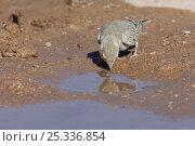 Купить «Black crowned finch / sparrow lark {Eremopterix nigriceps} female drinking in desert, Oman, March», фото № 25336854, снято 15 декабря 2017 г. (c) Nature Picture Library / Фотобанк Лори