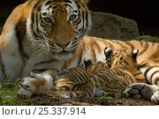 Купить «Portrait of female Siberian tiger (Panthera tigris altaica) with two very young cubs suckling milk, captive», фото № 25337914, снято 22 ноября 2019 г. (c) Nature Picture Library / Фотобанк Лори