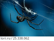 Купить «Black widow spider (Lactrodectus mactans) on web», фото № 25338062, снято 26 сентября 2018 г. (c) Nature Picture Library / Фотобанк Лори