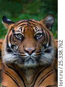 Head portrait of Sumatran tiger (Panthera tigris sumatrae) with one ear head back, captive. Стоковое фото, фотограф Edwin Giesbers / Nature Picture Library / Фотобанк Лори
