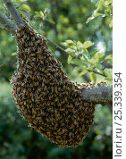 Купить «Swarm of Honey bees (Apis mellifera) UK», фото № 25339354, снято 15 декабря 2017 г. (c) Nature Picture Library / Фотобанк Лори