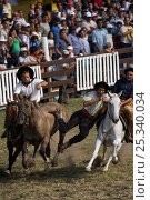 Купить «Two riders come to the rescue of a gaucho (cowboy) who is stuck on the back of a wild horse (Equus caballus) in the rodeo during the Fiesta de la Patria Grande, Montevideo, Uruguay, April 2008», фото № 25340034, снято 6 июля 2020 г. (c) Nature Picture Library / Фотобанк Лори
