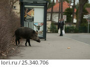 Wild boar (Sus scrofa) beside busstop in town, South Germany. Стоковое фото, фотограф Dietmar Nill / Nature Picture Library / Фотобанк Лори