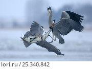 Купить «Two Grey heron (Ardea cinerea) fighting, mid-air, Germany», фото № 25340842, снято 5 июля 2020 г. (c) Nature Picture Library / Фотобанк Лори