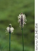 Купить «Ribbed plantain (Plantago sp) flowers, UK», фото № 25340854, снято 12 декабря 2017 г. (c) Nature Picture Library / Фотобанк Лори